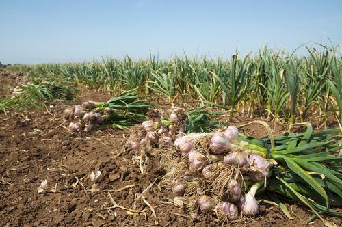 ニンニク 収穫 干す 理由